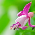 フクシャの花