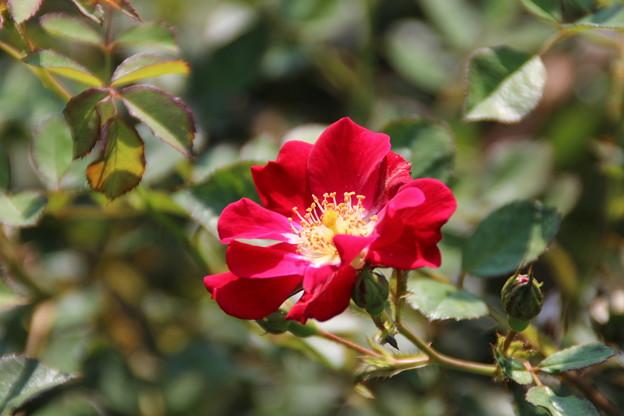 薔薇_公園 D6950