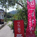 Photos: IMGP4767山口市、りんご狩り、林檎の樹らら2