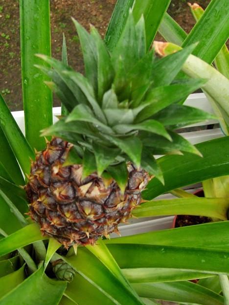 パイナップルの新芽