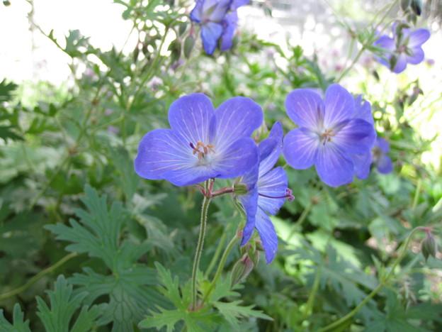 青花のゲラニウム