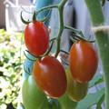 写真: 色づき始めたミニトマト「アイコ」
