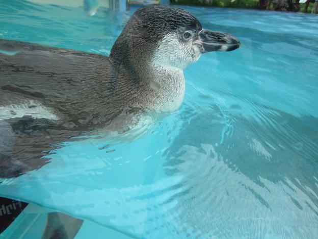 フンボルトペンギン (4)