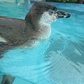 Photos: フンボルトペンギン (4)