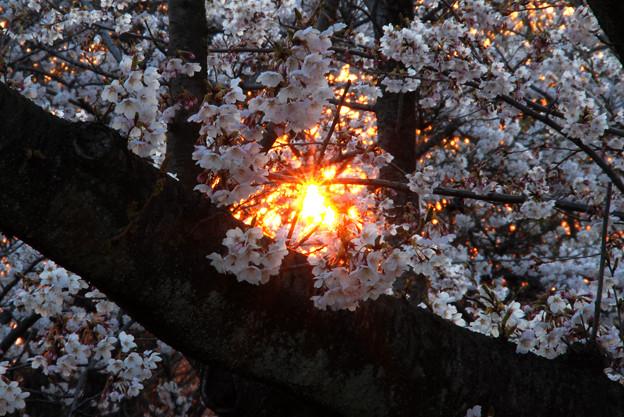 写真: 桜と夕日