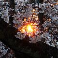 Photos: 桜と夕日