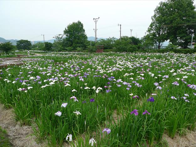 大和花しょうぶ園(2)