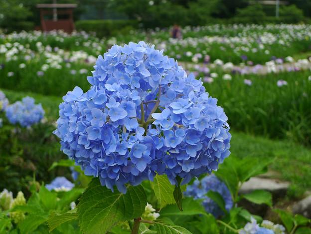 大和花しょうぶ園(9)紫陽花