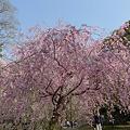 舞鶴公園の桜(18)