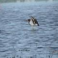 写真: 休耕田の鳥04