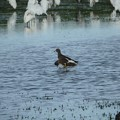 写真: 休耕田の鳥12