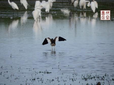 休耕田の鳥15