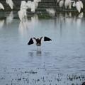 写真: 休耕田の鳥15