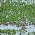 写真: 休耕田の鳥16