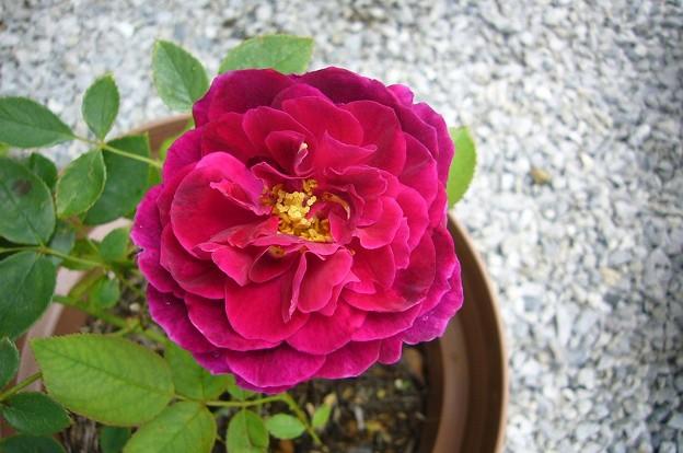 150708-1150707-6 赤紫のバラ