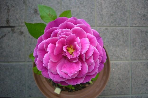 150713-7 赤紫のバラ