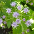 Photos: 150818-5 薄紫のアゲラタム