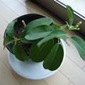 150820-3 マダガスカルジャスミンの挿し木