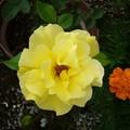 Photos: 150825-1 黄色いバラ