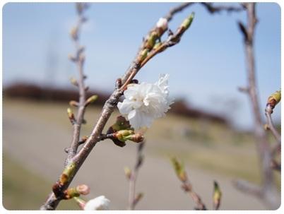 20120320 桜