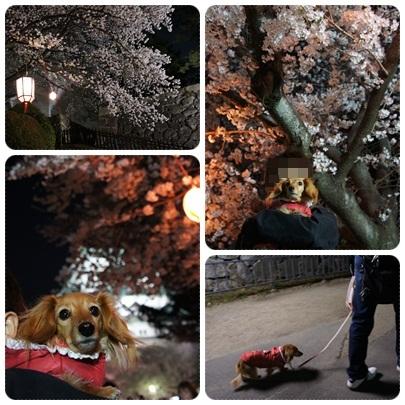 20120408 JURIと夜桜