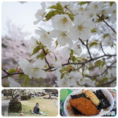 20120415 運動公園で(白雪桜)お花見