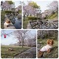 20120415 桜の花弁の絨毯