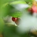 ヤブコウジ  葉の下に可愛い実が(*^-^)ニコ
