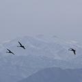 白山とコハクチョウ (2)