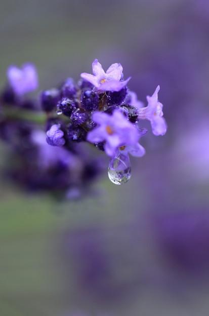 ラベンダー 雨の滴