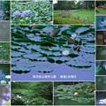 奥卯辰山健民公園 睡蓮と紫陽花