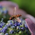 ヒラタアブ&紫陽花(2)  虹色の翅