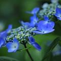 紫陽花 ブルースカイ