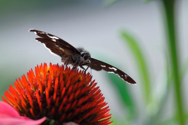エキナセアと蝶
