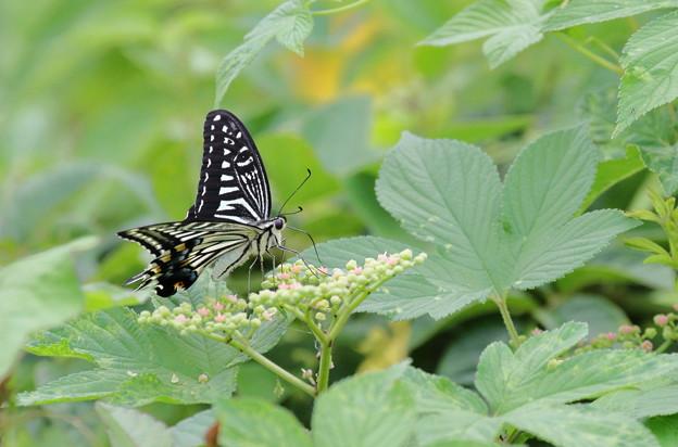 アゲハチョウ(2)  ヤブカラシ
