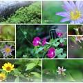 Photos: 我が家の8月の花(3)  最終回?