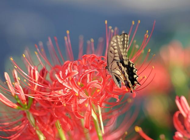 キアゲハと彼岸花