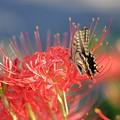 ●蝶 昆虫 虫