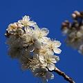 青空と桜?