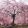 八重紅しだれ桜の咲く 公園のような庭園(5)
