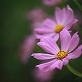コスモス pink