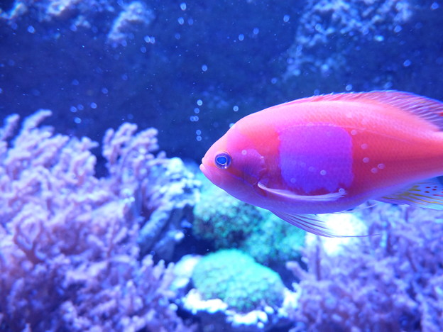 珊瑚礁をバックに魚