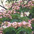 Photos: 合歓の木