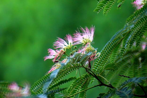 写真: 合歓の木と蜂