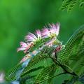 合歓の木と蜂