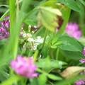 Photos: モモイロツメクサとハチ