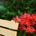 写真: 川越水上公園内の彼岸花