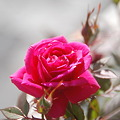 Photos: the rose cross
