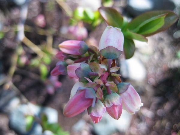 4.27 ブルーベリーの花s