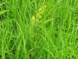 10.59 タカネアオヤギソウの緑の花s
